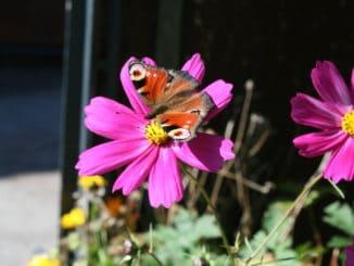 Kosmea, Schmuckkörbchen mit Schmetterling