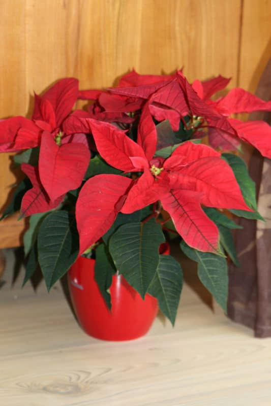 Weihnachtsstern in rot