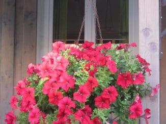 Rote Petunie in der Blumenampel