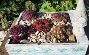 Hauswurz im Kiesbett gepflanzt