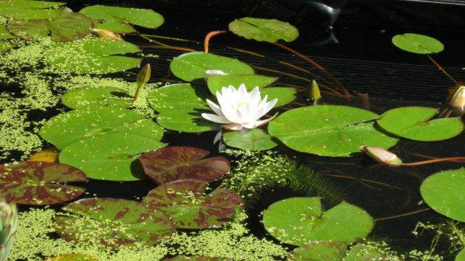 Teichpflanzen f r bessere wasserqualit t for Welche pflanzen reinigen den teich
