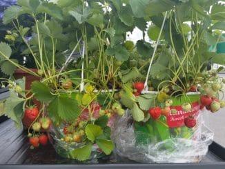 Erdbeeren im Topf, Naschgarten