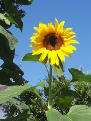 Mammut-Sonnenblumen