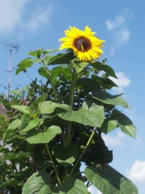 Riesige Sonnenblumen für den Garten