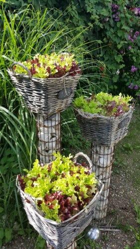 Salat, Pflücksalat in Töpfen anpflanzen