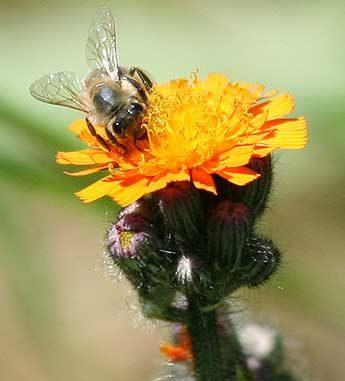 Biene sammelt Honig auf einer Blumenblüte