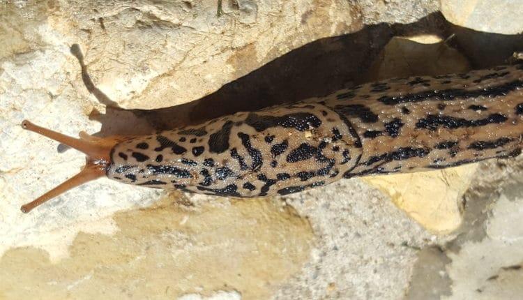 Tigerschnegel, getigerte Schnecke