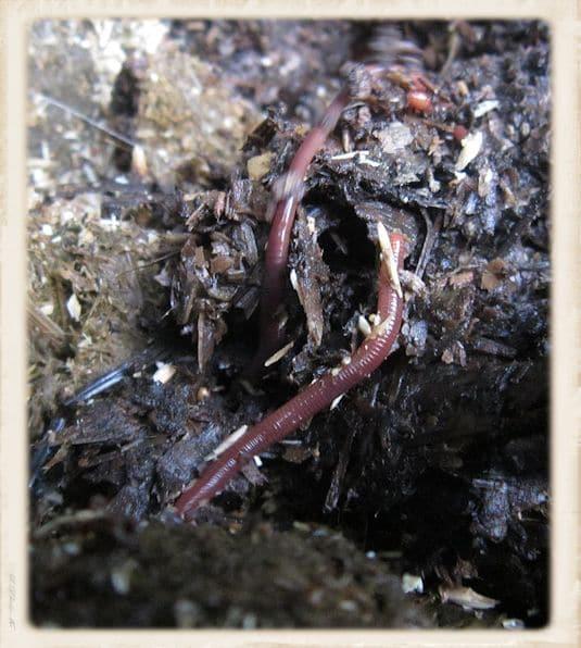 Kompostwurm
