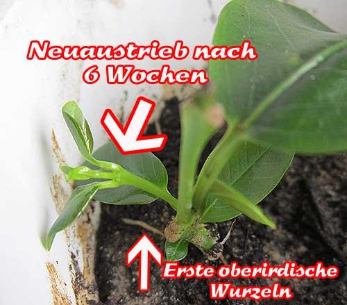dipladenia-vermehren