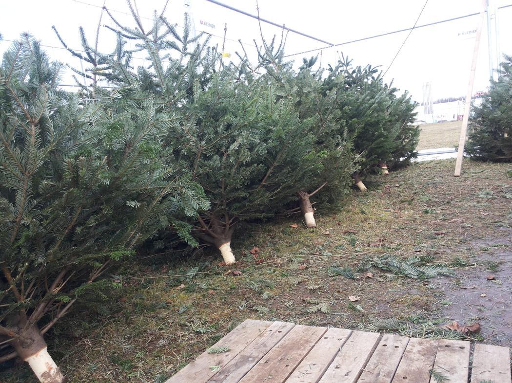 auswahl und pflege eines weihnachtsbaumes. Black Bedroom Furniture Sets. Home Design Ideas