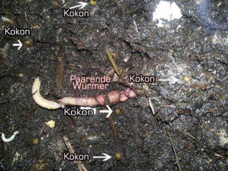 Dendrobena mit Kokon