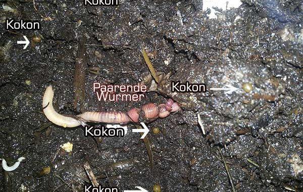 Kompostwürmer dendrobena der etwas andere rotwurm gartenzeitung com