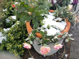 Rosen, Topfrosen benötigen unbedingt Winterschutz.