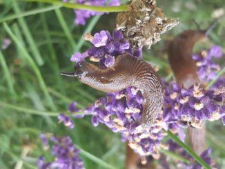 Schnecke auf Lavendel