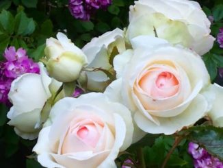 Rose - Edenrose