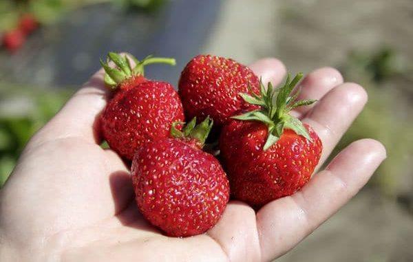 Erdbeer für Balkon und Terrasse geeignet