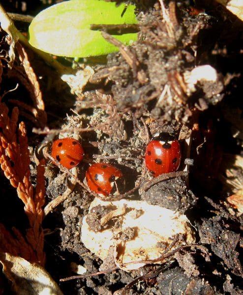 Marienkäfer Überwinterung, Käfer