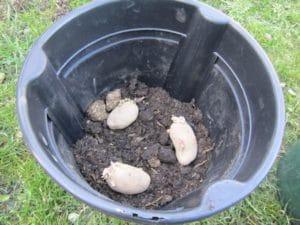 kartoffeltopf mit saatkartoffeln