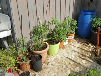 Tomaten im Kübel, Tomatenpflanzen Terrasse
