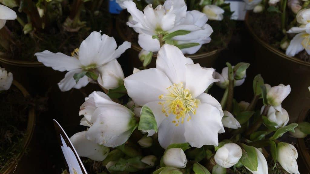 Christrose, Gartenzeitung.com