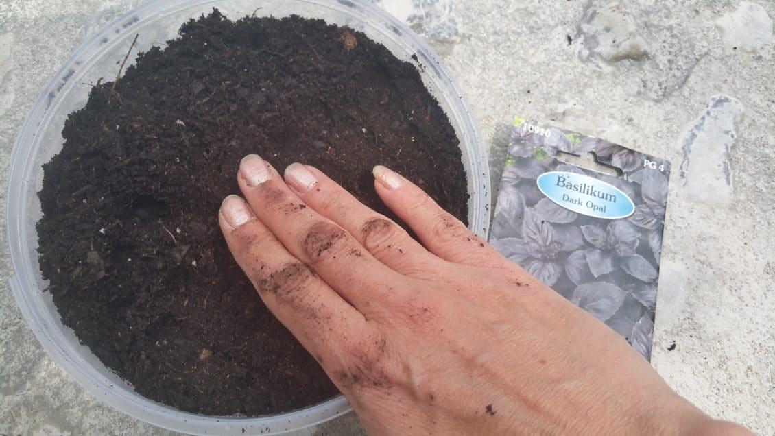 Basilikumsamen einpflanzen
