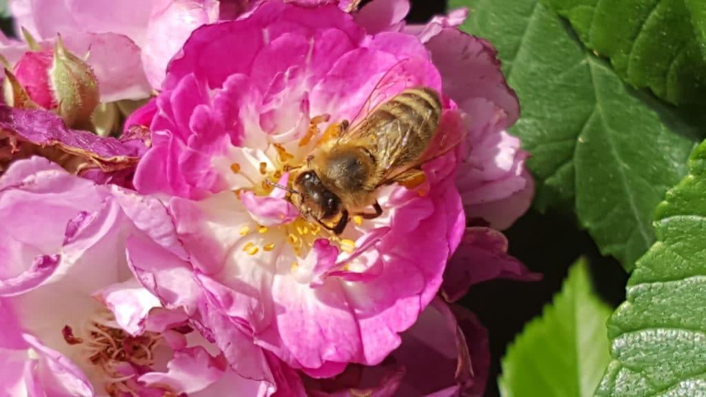 Bienen als fleissige Helfer und Nützlinge im Garten