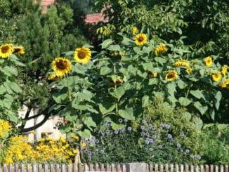 Sonnenblume, Garten, Zaun