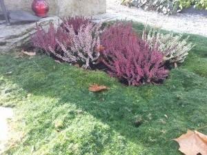 Herbstbepflanzung Erika / Heide