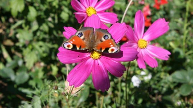 Cosmea, Schmuckkörbchen - ein Magnet für Schmetterlinge, Bienen und andere Insekten