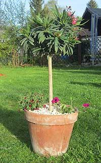 oleander-hochstamm