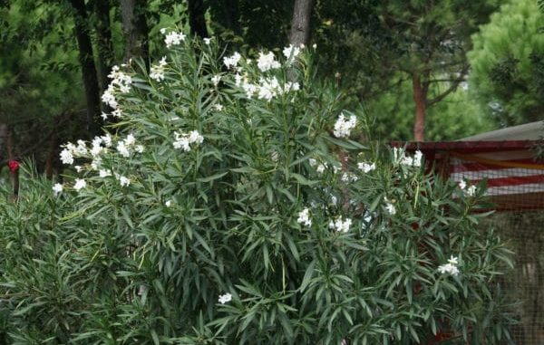 Oleander in weiß