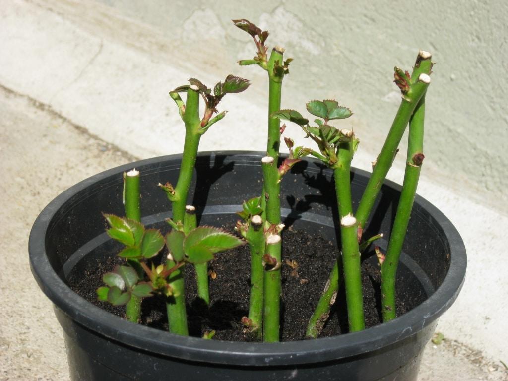 Rosensteckling, Rose vermehren, Schnittrose, Gartenzeitung.com