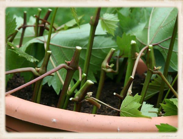 Weinstecklinge: Wein einfach vermehren