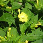 Wunderblume in gelb