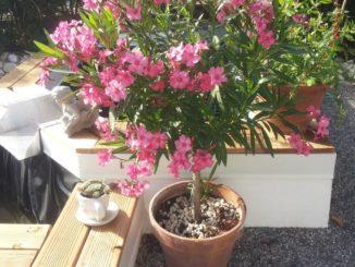 Oleander Hochstamm