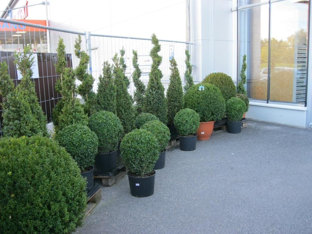 Immergrün, Buchs, Kübelpflanze, Kübel, Hecke, Gartenzeitung.com