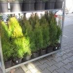 Thuja, Immergrün, Buchs, Kübelpflanze, Kübel, Hecke, Gartenzeitung.com