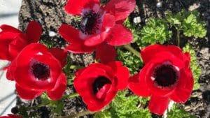 Anemone rot blühend