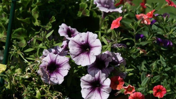 Petunie lila-weiß
