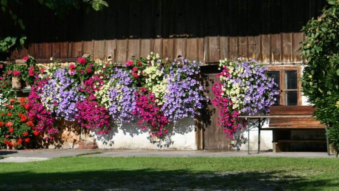 Petunien im Blumenkasten