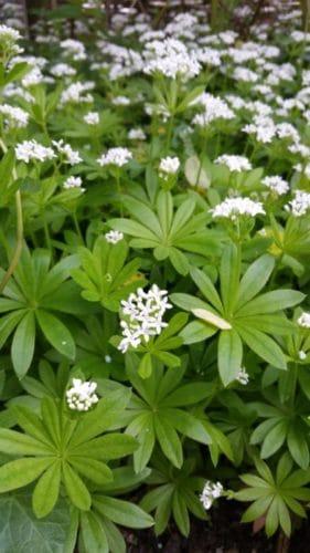 Waldmeister in der Blüte