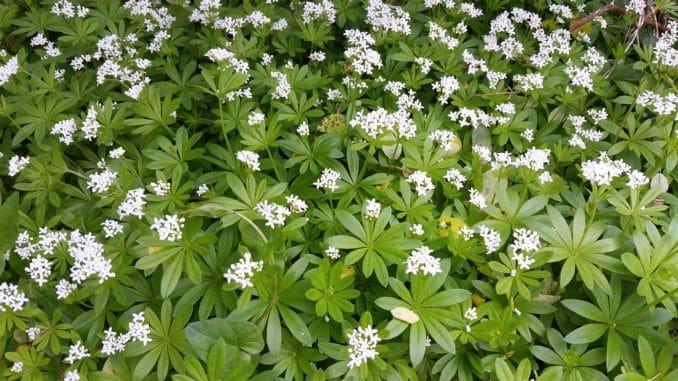 Waldmeister während der Blüte
