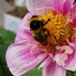 Hummel, Cosmea, Insekt, Tier, Nützling, Gartenzeitung.com