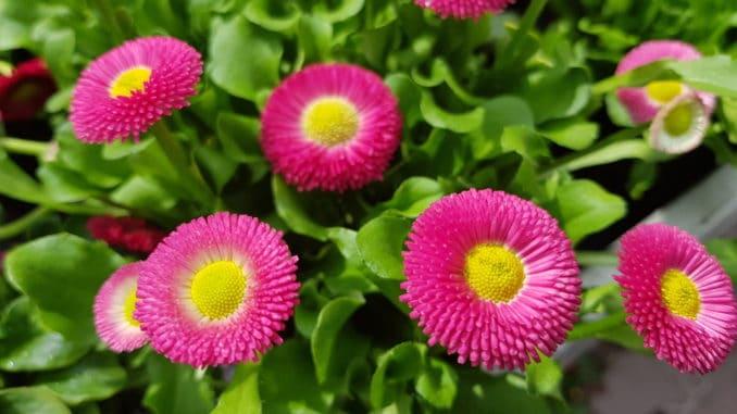 Bellis, Gänseblümchen