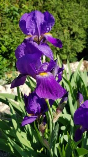 Schwertlilie, Iris, Iridaceae, Gartenzeitung.com