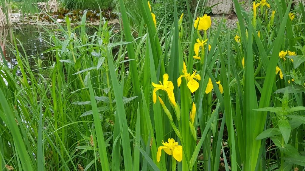 Schwertlilie, Lilie, Iris, Teich, Wasser, Gartenzeitung.com