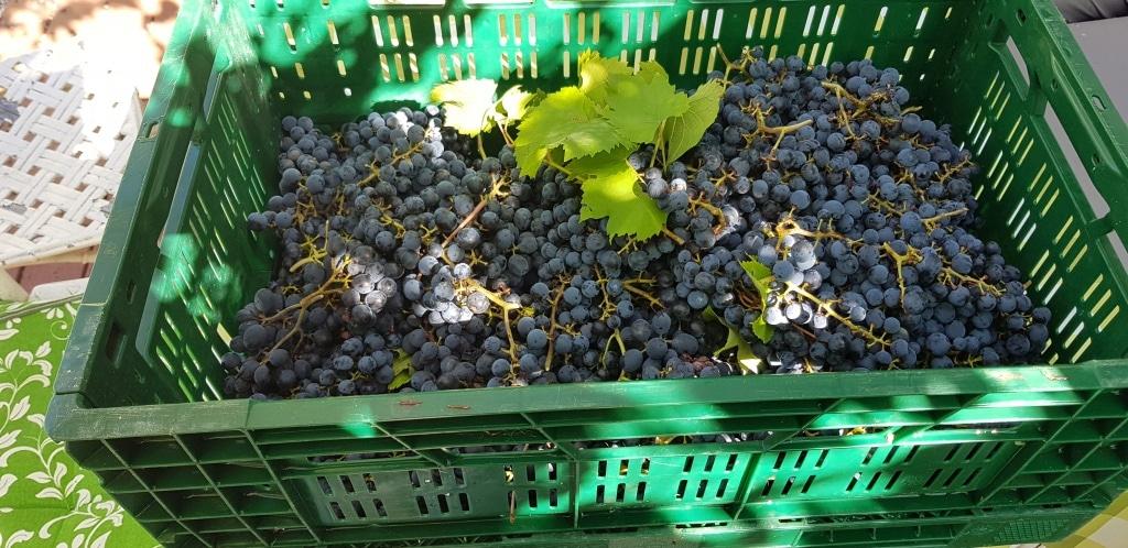 Wein, Weintrauben, Gartenzeitung.com