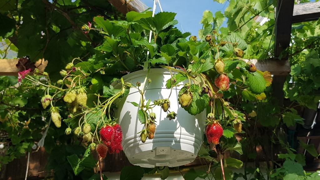 Erdbeeren, Hängeampel, Blumentopf