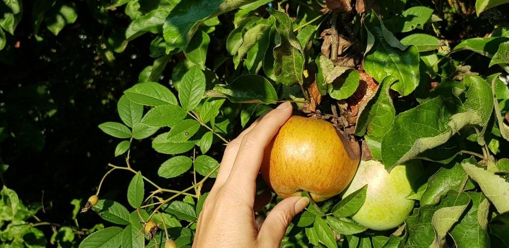 Apfel, Apfelbaum