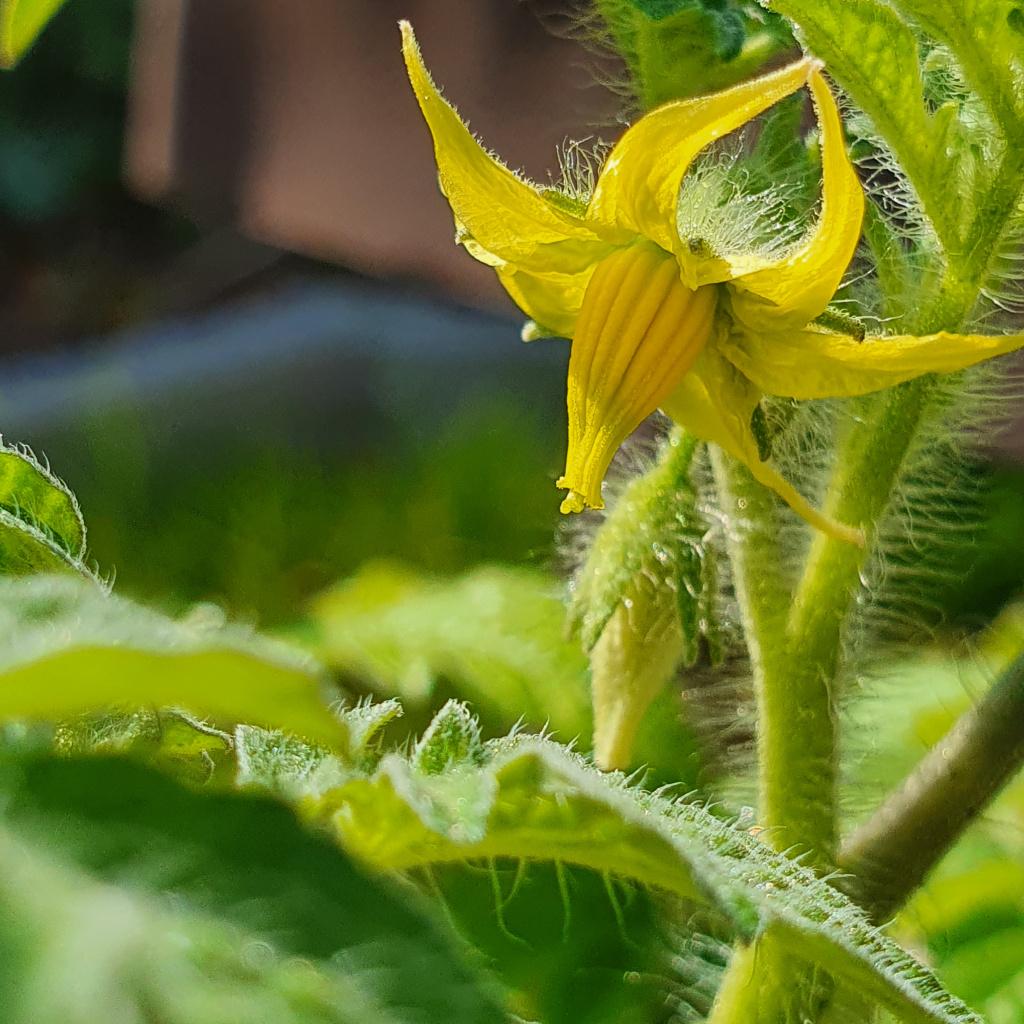 Tomatenblüte, Blüte, Bestäubung